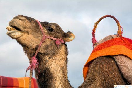 camello en desierto sahara